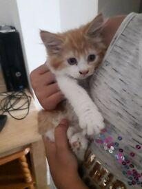 Female ginger kitten for sale