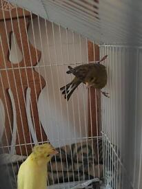 Canary Birds For Sale