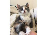 Russian blue cross ginger rare colour kitten