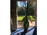 Yucca Plant 2 metres (over 6 ft) ideal for warm conservatory/sunny room