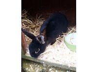 Year old rex rabbit