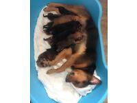 Beautiful Rottie x Staff puppies