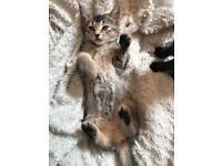 Female tabby kitten ❤️