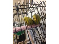 Baby budgies for sale £8 each
