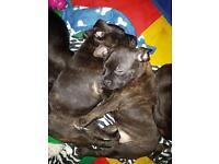 2 male brindle staff pups