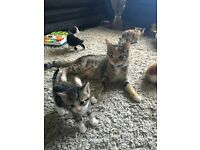 X BENGAL KITTENS FOR SALE