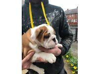 British Bulldog Puppies pedigree K.C Reg