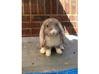 French lop babys