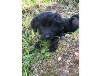 Barney, 12 week old Jackapoo