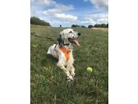 Sweep, English Setter, 10 months old