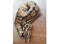Royal python (pastel) baby