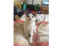 Grey and white kitten 14 weeks/ 3 half months