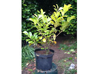Laurel Hedging Plants on **Sale** Now Half Price - size 2 - 2.5 ft