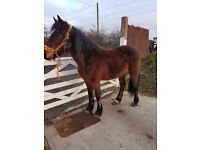 Halfbred filly
