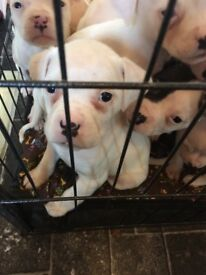 American bulldogs johnsons puppies