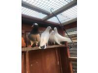 Garden dove for sale