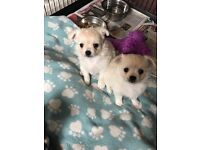 Kc long haired chihuahua pups