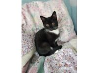12 Week Old Kitten with bed, litter tray, toys