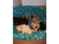 KC REGISTERED PUG PUPPIES FOR SALE FAWN AND BLACK