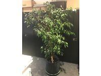 Indoor Tree - Weeping Fig