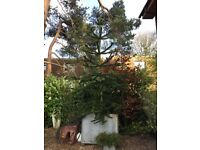 Monkey Puzzle Tree in Galvanised Container approx 15 foot in total height