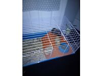 Two male guinea pigs free to gd home only 3 months old
