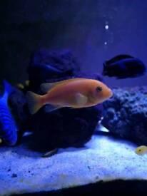 Labidochromis caeruleus and other
