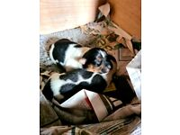 Stunning Jack Russell Puppies for sale
