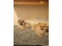 Mini pomeranian puppys