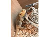 Bearded Dragon (Male) & Full 4ft Vivarium Set Up For Sale
