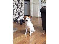 Jack russell puppies £400