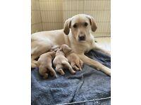 Stunning Labrador puppies.