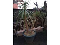 2 tall beautiful palm trees one in a plant pot and the other still in the ground