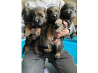 Fantastic German Shepherd pups