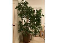 Very large Weeping Fig (Ficus Benjamina)