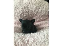 ** 2 BEAUTIFUL CHIHUAHUA PUPPIES ** almost ready to leave**