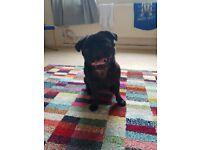 Black female pug £500