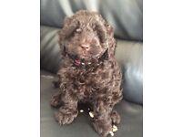 Chocolate Cockapoo Puppies - Home Reared F1B
