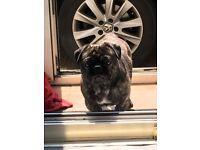 Pug x French bulldog 2 years old