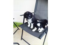 2 fluffy coat border collie boy pups