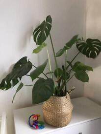 Various indoor plants for £50 (monstera, peace lily, orchids, ferns, and more)