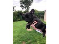 Outstanding French Bulldog puppy