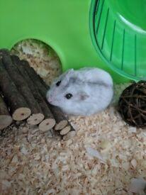 Dwarf Hamster for sale with cage.