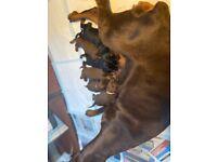 European import Doberman puppies champion blood lines