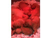 Labrador puppies Fox red.