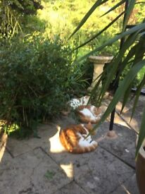 Lost ginger and white male microchipped cat. Wearing green collar. Reward offered