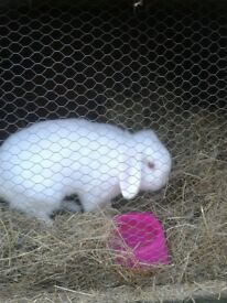 Beautiful white lop-eared buck rabbit looking for loving home.