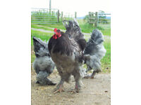 pure bred giant brahma chickens