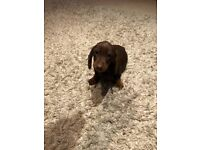 Adorable mini, chocolate and tan dachshund puppy is ready now