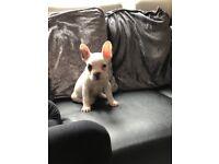 Amazing blue pied frenchbulldog puppy
